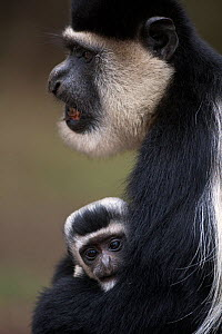 Eastern Black-and-white Colobus (Colobus guereza) female cradling her baby aged 1-2 months in her arms. Elsamere, Lake Naivasha, Rift Valley Province, Kenya - Fiona Rogers