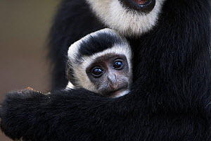 Eastern Black-and-white Colobus (Colobus guereza) baby aged 1-2 months being cradled in is mother's arms. Elsamere, Lake Naivasha, Rift Valley Province, Kenya - Fiona Rogers