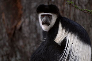 Eastern Black-and-white Colobus (Colobus guereza) male sitting portrait. Elsamere, Lake Naivasha, Rift Valley Province, Kenya - Fiona Rogers