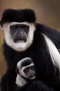 Eastern Black-and-white Colobus (Colobus guereza) female cradling her baby aged 1-2 months - portrait. Elsamere, Lake Naivasha, Rift Valley Province, Kenya - Fiona Rogers