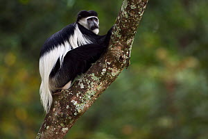 Eastern Black-and-white Colobus (Colobus guereza) female sitting in a tree. Kakamega Forest National Reserve, Western Province, Kenya - Fiona Rogers