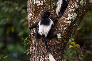 Eastern Black-and-white Colobus (Colobus guereza) baby aged 9-12 months climbing a tree - back view. Kakamega Forest National Reserve, Western Province, Kenya - Fiona Rogers
