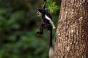 Eastern Black-and-white Colobus (Colobus guereza) baby aged 9-12 months swinging from a branch. Kakamega Forest National Reserve, Western Province, Kenya - Fiona Rogers