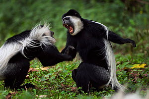 Eastern Black-and-white Colobus (Colobus guereza) monkeys play fighting. Kakamega Forest National Reserve, Western Province, Kenya - Fiona Rogers