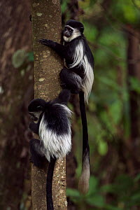 Eastern Black-and-white Colobus (Colobus guereza) babies aged 9-12 months playing. Kakamega Forest National Reserve, Western Province, Kenya - Fiona Rogers