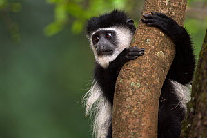 Eastern Black-and-white Colobus (Colobus guereza) juvenile clinging to a branch - portrait. Kakamega Forest National Reserve, Western Province, Kenya - Fiona Rogers