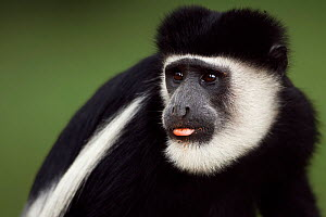 Eastern Black-and-white Colobus (Colobus guereza) male sticking out tongue - portrait. Kakamega Forest National Reserve, Western Province, Kenya - Fiona Rogers