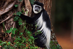 Eastern Black-and-white Colobus (Colobus guereza) juvenile sitting at the base of a tree. Kakamega Forest National Reserve, Western Province, Kenya - Fiona Rogers