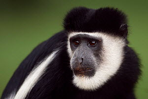 Eastern Black-and-white Colobus (Colobus guereza) male portrait. Kakamega Forest National Reserve, Western Province, Kenya - Fiona Rogers