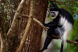 Eastern Black-and-white Colobus (Colobus guereza) sitting in a tree. Kakamega Forest National Reserve, Western Province, Kenya - Fiona Rogers