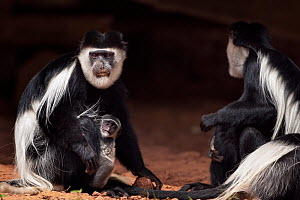 Eastern Black-and-white Colobus (Colobus guereza) monkeys, one female with a baby aged less than one month, feeding on soil for its salts and minerals. Kakamega Forest South, Western Province, Kenya - Fiona Rogers