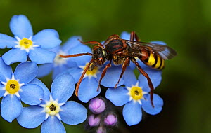 Nomad bee (Nomada flava) feeding on Forget-me-not nectar, in urban garden, Bristol, UK, June. - Ammonite
