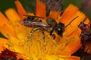 Leafcutter bee male (Megachile sp.) on orange hawkbit, in urban garden, Bristol, UK, June. - Ammonite