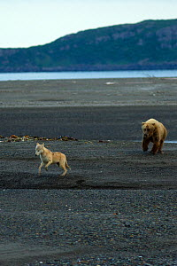 Grizzly bear (Ursus arctos horribilis) chasing grey wolf (Canis lupus) in Katmai National Park, Alaska, USA, August.  -  Oliver Scholey