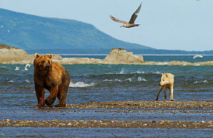 Grizzly bear (Ursus arctos horribilis) and Grey wolf (Canis lupus) on beach, Katmai National Park, Alaska, USA, August.  -  Oliver Scholey