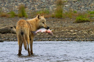 Grey wolf (Canis lupus) hunting pacific salmon, Katmai National Park, Alaska, USA, August. - Oliver Scholey
