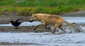 Grey wolf (Canis lupus) hunting pacific salmon, with crow in background, Katmai National Park, Alaska, USA, August. - Oliver Scholey