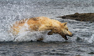 Grey wolf (Canis lupus) hunting pacific salmon Katmai National Park, Alaska, USA, August. - Oliver Scholey