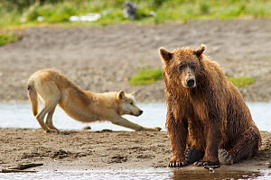 Grizzly bear (Ursus arctos horribilis) with Grey wolf (Canis lupus) stretching behind, Katmai National Park, Alaska, USA, August.  -  Oliver Scholey