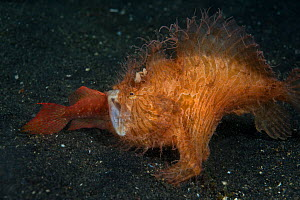 Hairy frogfish (Antennarius striatus) predating another fish, Lembeh strait, Sulawesi, Indonesia. - Magnus  Lundgren