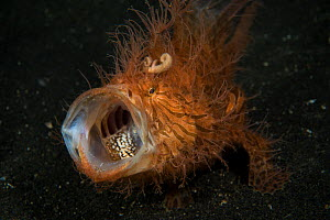 Hairy frogfish (Antennarius striatus) with mouth open, Lembeh strait, Sulawesi, Indonesia. - Magnus  Lundgren
