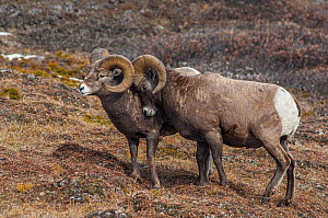 Bighorn Rams (Ovis canadensis) sparring in a high mountain pass in Jasper National Park, Alberta, Canada, October - George  Sanker