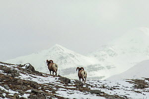 Bighorn Rams (Ovis canadensis) in a high mountain pass in Jasper National Park, Alberta, Canada, October  -  George  Sanker