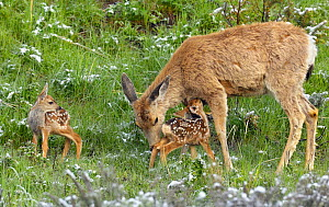Mule Deer (Odocoileus hemionus), mother tends to her just-born twin fawns. Yellowstone National Park, Wyoming, USA, June - George  Sanker