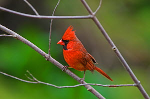 Northern Cardinal (Cardinalis cardinalis) male in breeding plumage. Acadia National Park, Maine, USA, May  -  George  Sanker