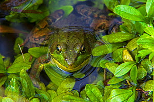 Northern Green Frog (Lithobates clamitans melanota) with head out of water. Acadia National Park, Maine, USA, September  -  George  Sanker