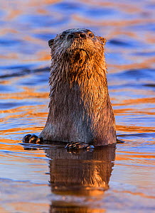 North American River Otter (Lontra canadensis) looking up curiously in a beaver pond. Acadia National Park, Maine, USA, November  -  George  Sanker