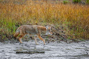 Coyote (Canis latrans) approaching the Athabasca River. Jasper National Park, Alberta, Canada, September - George  Sanker