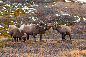 Bighorn sheep (Ovis canadensis) rams sparring in a high mountain pass in Jasper National Park, Alberta, Canada, October - George  Sanker