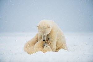 Polar bear (Ursus maritimus) sow with spring cub playing with one another on a barrier island during autumn freeze up, Bernard Spit, North Slope, Arctic coast of Alaska, September - Steven Kazlowski