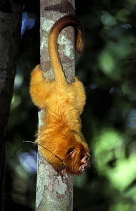 Golden lion tamarin (Leontopithecus rosalia) with radio tracking device, captive in zoo,  Brazil. Endangered species. Endemic to Brazil.  -  Roland  Seitre