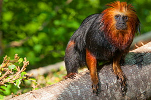 Golden-headed tamarin (Leontopithecus chrysomelas) captive, Monkey Valley Zoo / Zoo La Vall�e des Singes, Romange, France. Endangered species. Endemic to Brazil.  -  Roland  Seitre