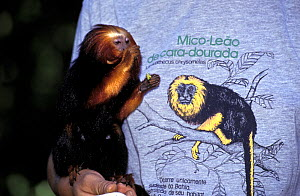 Golden-headed Tamarin (Leontopithecus chrysomelas) feeding, standing on arm of human wearing Golden headed tamarin t-shirt, captive. Endangered species. Endemic to Brazil.  -  Roland  Seitre