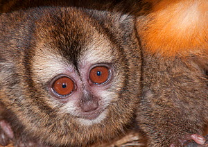 Andean Night Monkey (Aotus miconax) Douroucouli des Andes, captive at Huachipa Zoo, Lima, Peru, vulnerable species. Endemic to Peru. - Roland  Seitre
