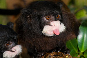 Moustached tamarin (Saguinus mystax) sticking tongue out, captive at Jacobo Lacs breeding facilities, Elevage Jacobo Lacs, Colon, Panama.a. Native to Brazil and Peru.  -  Roland  Seitre