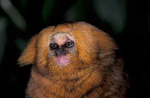 Buffy Headed Marmoset (Callithrix flaviceps) captive, endangered species. Endemic to Brazil.  -  Roland  Seitre