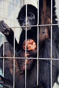 Colombian Spider Monkey (Ateles fusciceps rufiventris) mother with baby caged in zoo. Native to Colombia and Panama.  -  Roland  Seitre