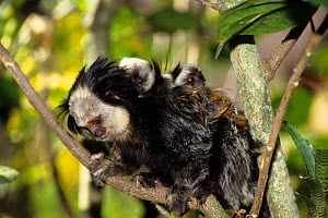 Geoffroy's Marmoset (Callithrix geoffroyi) baby riding on father's back, Brazil.  -  Roland  Seitre