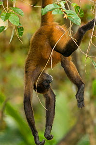 Black handed spider monkey (Ateles geoffroyi) hanging from branch, captive La Marina Wildlife Rescue Center Zoo, Costa Rica. Native to Central America and Colombia.  -  Roland  Seitre