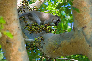Tana River Crested Mangabey (Cercocebus galeritus) feeding on fruit in tree, captive, Monkey Valley Park / Valle des Singes, France. Endemic to Kenya.  -  Roland  Seitre