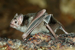 Vampire Bat (Desmodus rotundus) walking along the ground, captive native to Central and South America. - Roland  Seitre