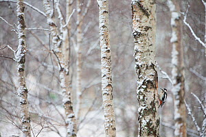 Great spotted woodpecker (Dendrocopus major) in birch forest, Cairngorms National Park, Scotland, March. - Peter Cairns