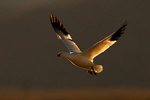 Snow Goose (Chen caerulescens) in flight in evening light, Bosque del Apache, New Mexico, USA, December. - Peter Cairns
