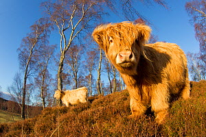 Highland cow in amongst native birch woodland, Cairngorms National Park, Scotland, England, UK, February. - Peter Cairns