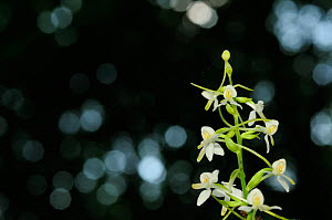 Lesser Butterfly-orchid (Platanthera bifolia) in the forests around Turda Gorge, Romania. June - Zoltan Nagy