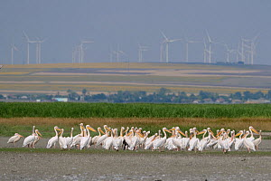 Great White Pelicans (Pelecanus onocrotalus) resting along a lake in the Danube Delta, with wind turbines in the background, Romania, June 2013.  -  Zoltan Nagy